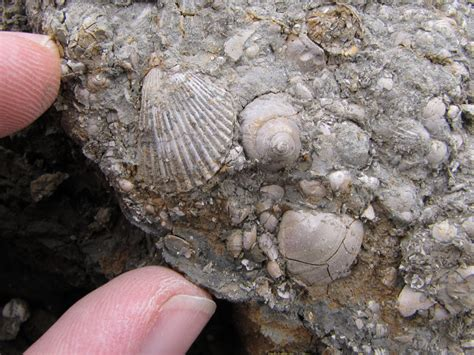 Barton on Sea  Hampshire  fossils | Discovering Fossils