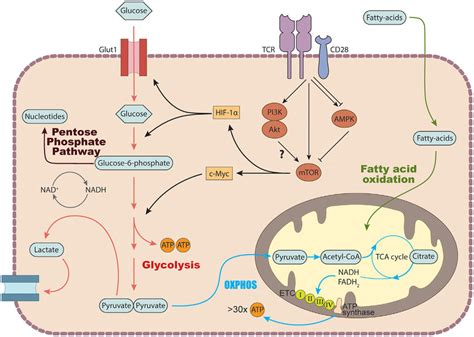 | Basic metabolic pathways in T cells. In the cytosol ...