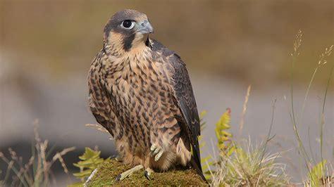 BBC   Wales   Nature   Birds of Prey
