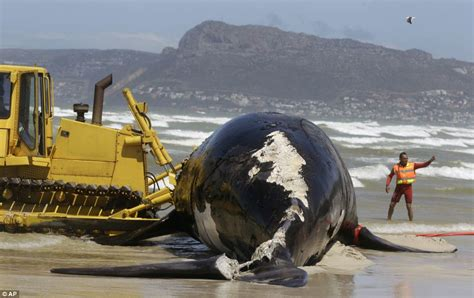 Beaches close in South Africa after Great White sharks ...