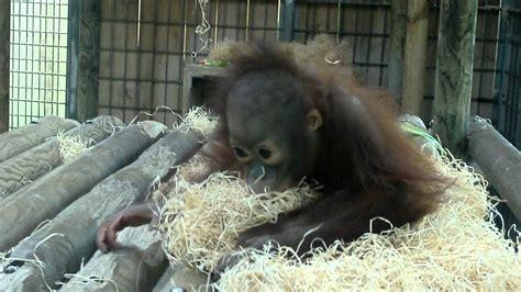 Bebe Orangutan en Zoo Barcelona se hace daño en el labio ...