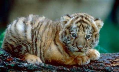Bébé tigre | Bébés animaux mignons, Animaux les plus ...