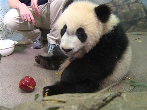 Bei Bei   Giant panda Bei Bei turns one   Pictures   CBS News