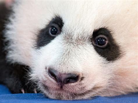 Bei Bei   Panda baby Bei Bei   Pictures   CBS News