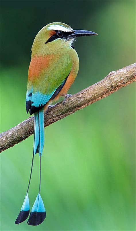 Bellas Aves de El Salvador: Eumomota superciliosa ...