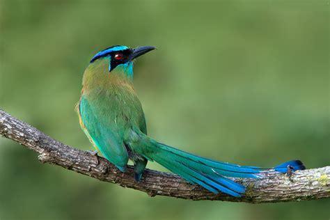 Bellas Aves de El Salvador: Momotus momota coeruliceps ...