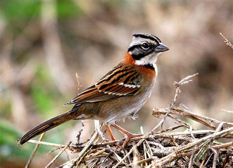 Bellas Aves de El Salvador: Zonotrichia capensis  chingolo ...