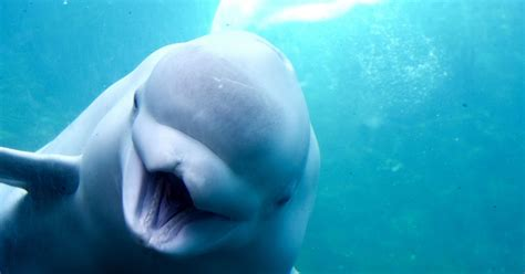 Beluga Whale Spotted Swimming In The Thames | HuffPost UK