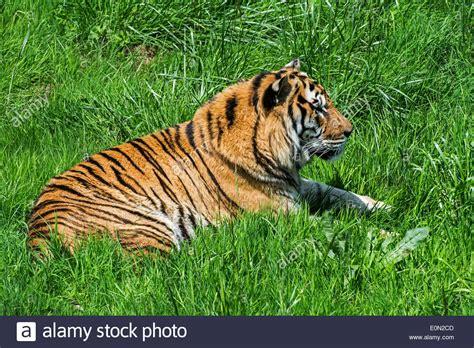 Bengal tiger  Panthera tigris tigris  native to India ...