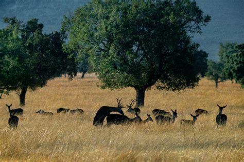 Berrea en el Parque Nacional de Cabañeros: el otoño de los ...