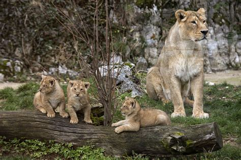 Besancon zoo   Rare lion cubs born in France   Pictures ...