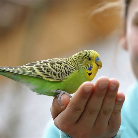 Best Pet Birds | Find the right pet bird for you in 2020