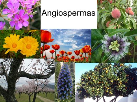 Biologia 224: Aula do dia 04/06/15  Botânica  Angiospermas