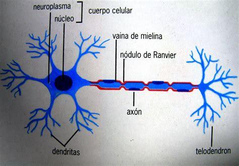 BIOLOGÍA 3º SECUNDARIA: Neuronas, Nervios y Ganglios