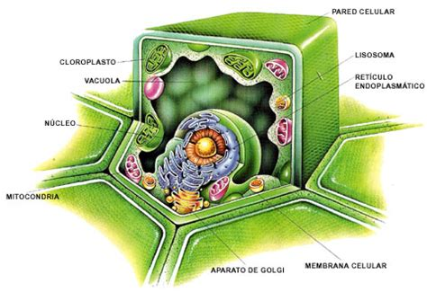 Biología y Geología 1º BACH: LA PARED CELULAR