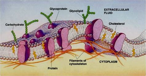 BIOLOGY IS FUN: Structure of Plasma Membrane