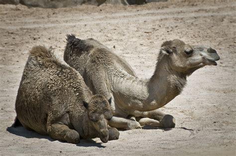 Bioparc, Dromedario  Camelus Dromedarius  Imagen & Foto ...