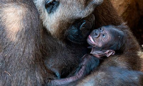 Bioparc Fuengirola busca nombre para el pequeño gorila ...