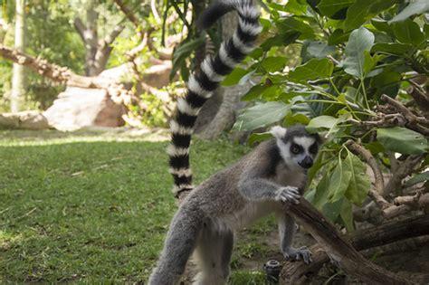 Bioparc Fuengirola   Lemur de cola anillada   Daniel ...