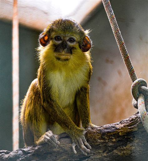 BIOPARC Valencia acoge un nuevo grupo del mono más pequeño ...