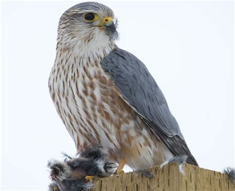 Bird Quizzes   Falcons, Owls and Swifts