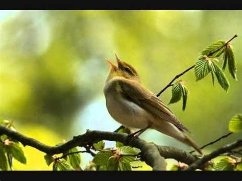 Bird songs [10 hours]   YouTube