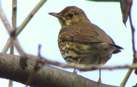 Birding Bros. Blog: Spanish Bird of the Week #3: Song Thrush