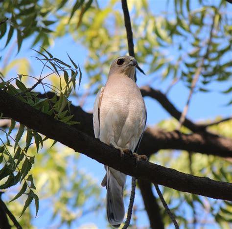 Birding Goa: Birds of Prey found in goa