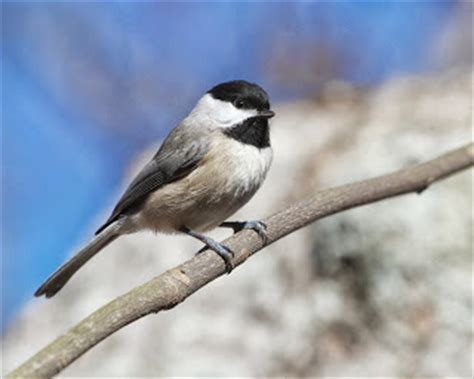 Birding With Bobay: Carolina Black cappeds