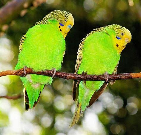 Birds Budgerigars Green · Free photo on Pixabay