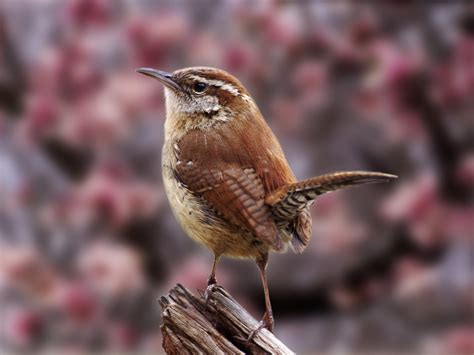 Birds: Carolina Wren