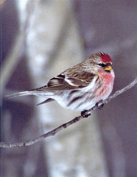 Birds: Common Redpoll