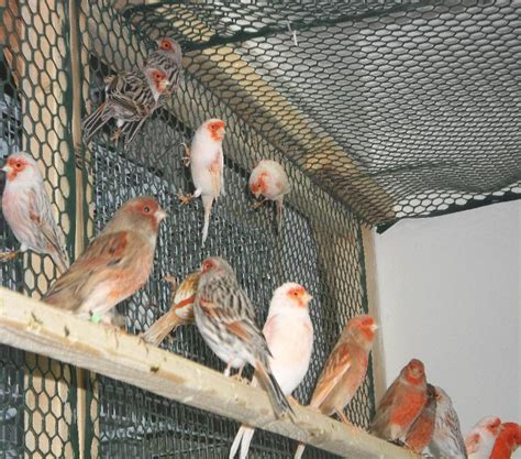 Birds For Sale,Mosaic canaries, mosaic canary, red mosaic ...