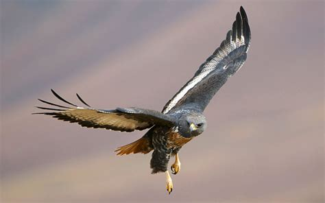 Birds of Prey Amazing Wallpapers | HD Wallpapers