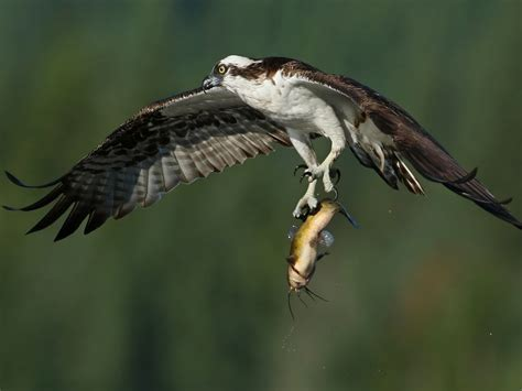 Birds Of Prey Osprey Flight Bird Wings Caught Prey Fish ...