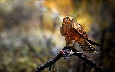 Birds of Prey Wallpaper  61+ images