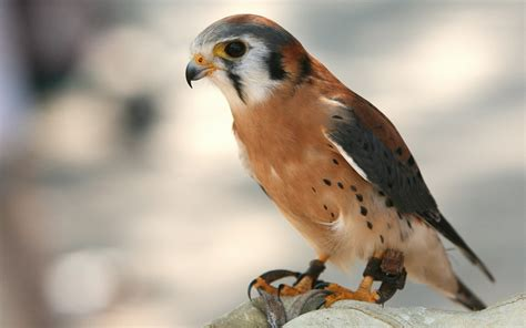 Birds of Prey wallpapers and images   wallpapers, pictures ...