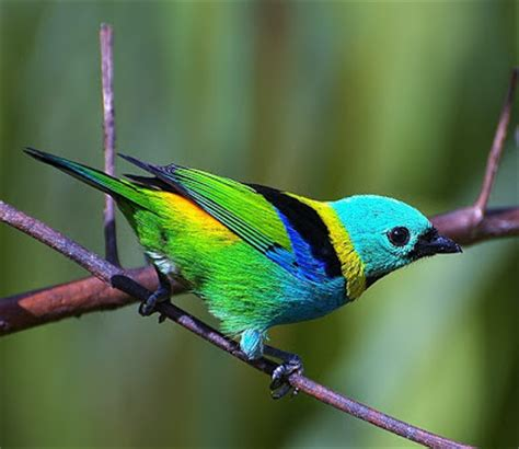 Birds of the World: Green headed tanager
