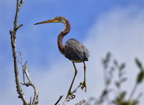 Birds on the brain: Birding Coastal South Carolina with ...