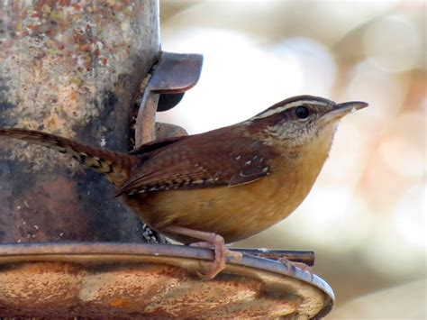 BirdsEyeViews: Winter 2015 Backyard Birds