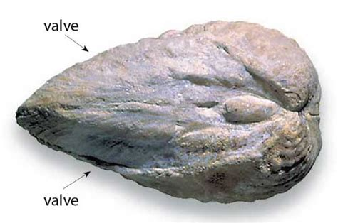 Bivalves | Fossil Focus | Time | Discovering Geology ...