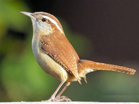 black and white carolina wren | South Carolina State Bird ...
