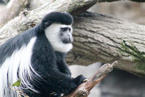 Black And White Colobus Monkey   Potawatomi Zoo
