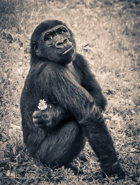 Black Ape · Free Stock Photo