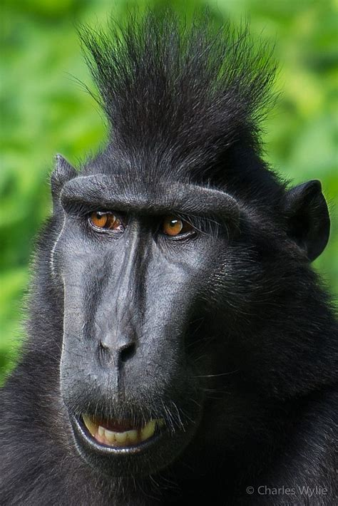 Black Crested Macaque @ Durrell Wilflife Conservation ...