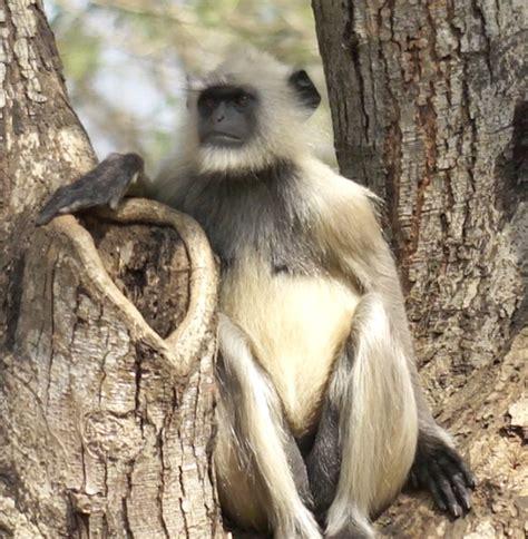 Black Face Monkey   India Travel Forum   IndiaMike.com