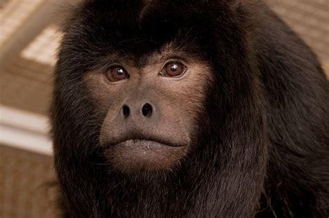 black howler monkey   Oregon Zoo