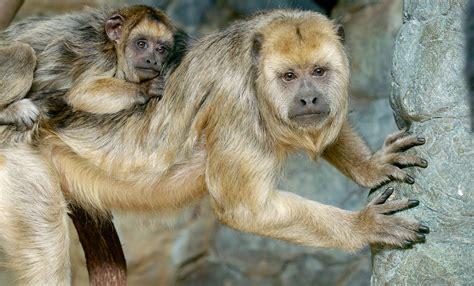 Black howler monkey   Smithsonian s National Zoo
