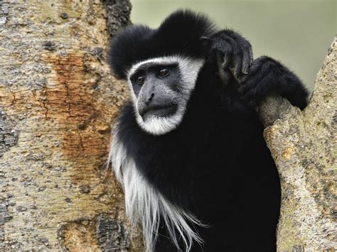 Black Monkey   Best Animals