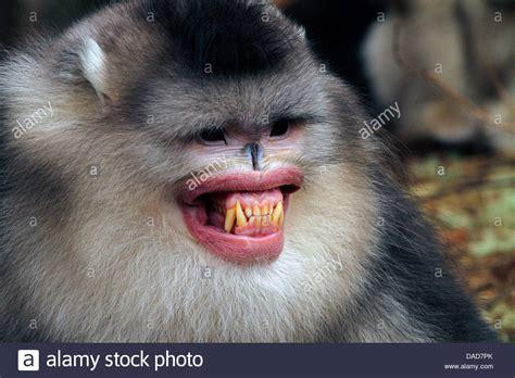 Black snub nosed monkey, Yunnan snub nosed monkey ...